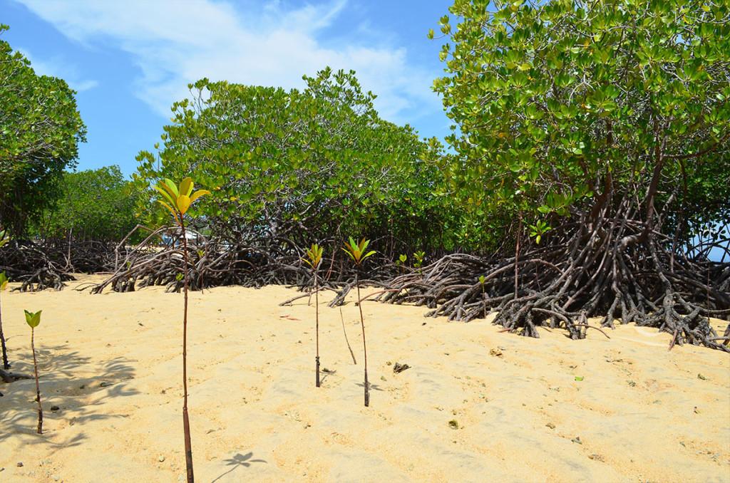 mangrove4