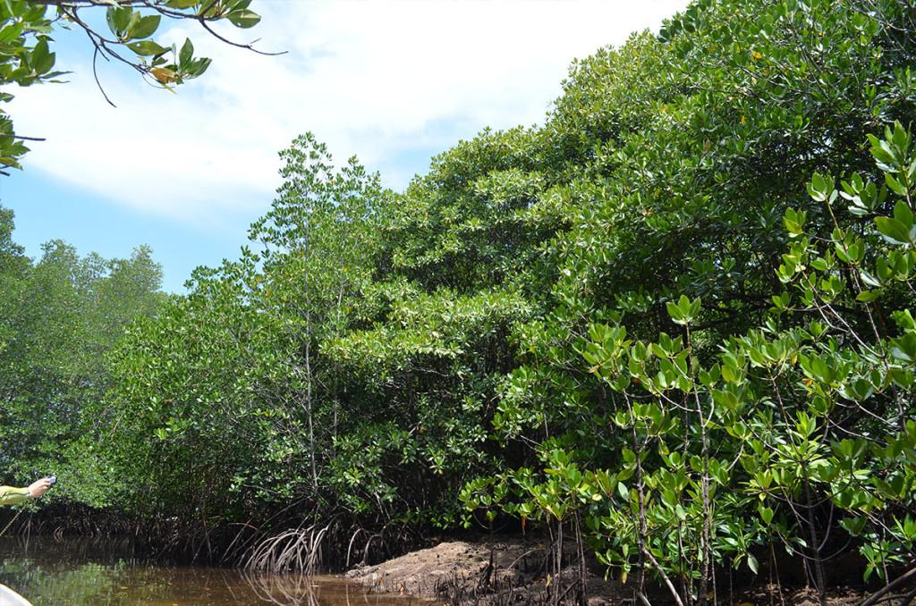 mangrove8