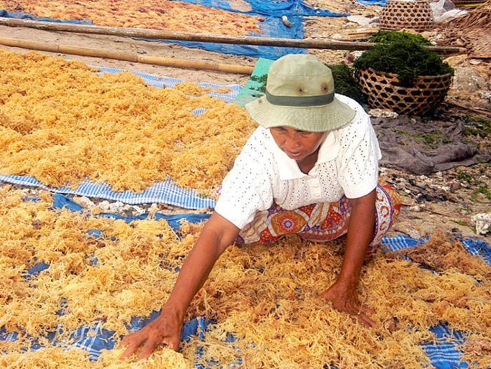 ジュングバトゥ村では天草作りが盛ん。村の女性たちが海藻養殖の為の作業をする姿を見学。