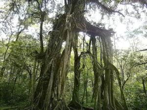 クブンラヤ植物園内のガジュマルの木を見学