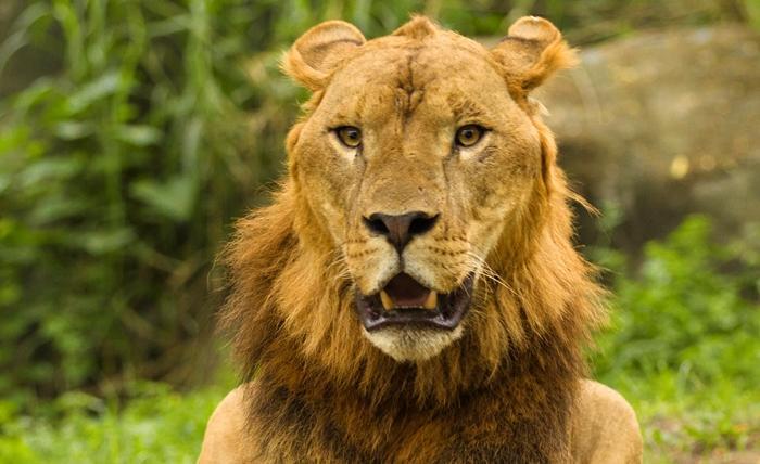 迫力あるライオン、ホワイトタイガー、トラ等もいます。