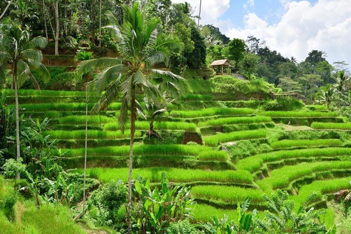 緑が美しい、テガラランのライステラス。稲刈り後は茶色になってしまいます。