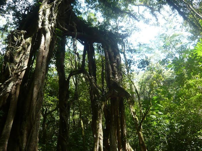 一面の林の中を進むと、バリのパワースポットといわれるガジュマルの木に到着。