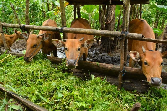 牛にも出会いました。