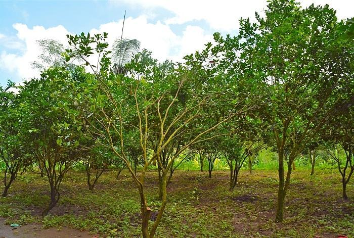 ミカン農園です。実はキンタマーニの主要農作物はミカンなんです。