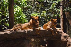 飼育員によるライオンへの餌やり&説明