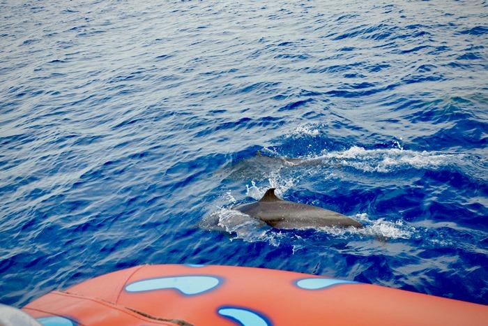 イルカは船の先頭で起きる波で遊ぶのが大好きなのだそうです!