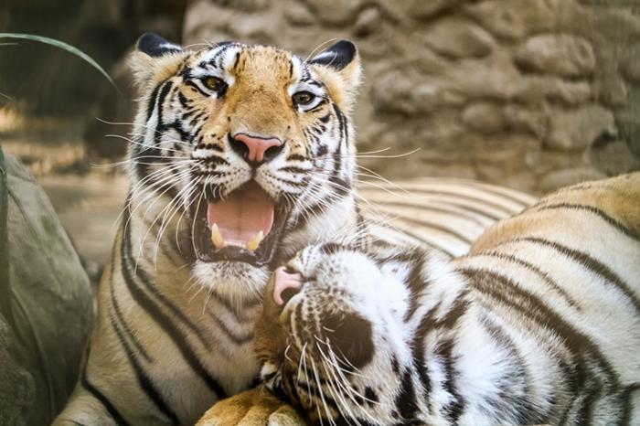 トラやライオン等の猛獣もいます。