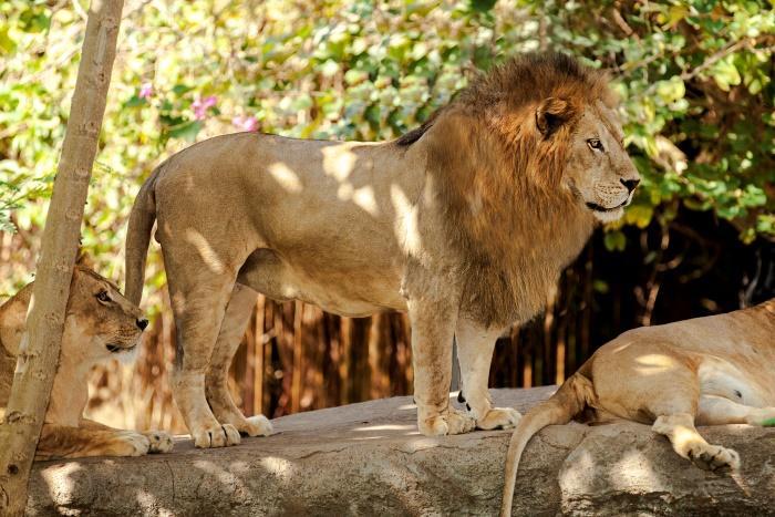 迫力満点のライオンもいます。